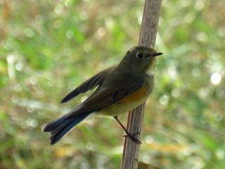 img_0971-red-flanked-bluetail_edited-1