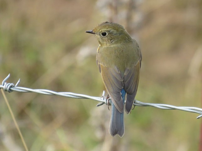 img_1009-red-flanked-bluetail