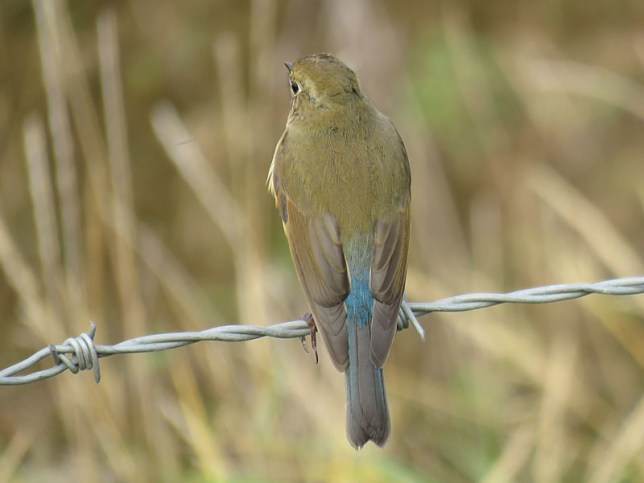 img_1024-red-flanked-bluetail