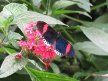 img_1890-postman-butterfly