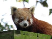 img_2057-red-panda