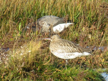 img_2101-curlew