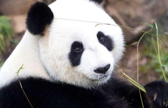 Adelaide Zoo giant-panda