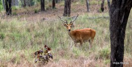 The rare and endemic Barasingha
