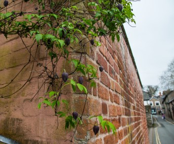 Clematis and wall