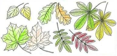 летняя и осенняя окраска листьев