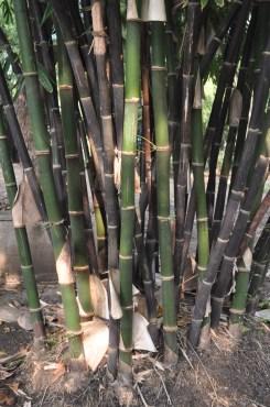 Black Bamboo (Gigantochloa atroviolacee)