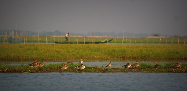Migratory birds at Chilka