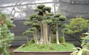 jual pohon bonsai serut besar