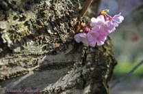 Foto-72c-(30)-Mandelblüte