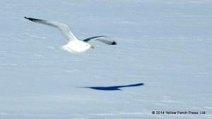 Gull on Ice