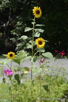 sunflower Put in Bay