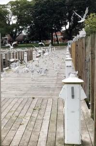 Put in Bay Gulls