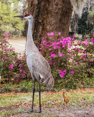 photo of Sandhill and Chick by Azaleas
