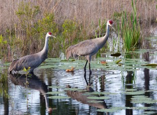photo of Sandhill Cranes with 4 day old chick returning to nest in the evening