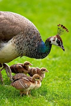 polluelos de pavo real