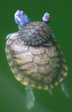 cria de tortuga con su madre