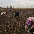 radnici na polju pamuka