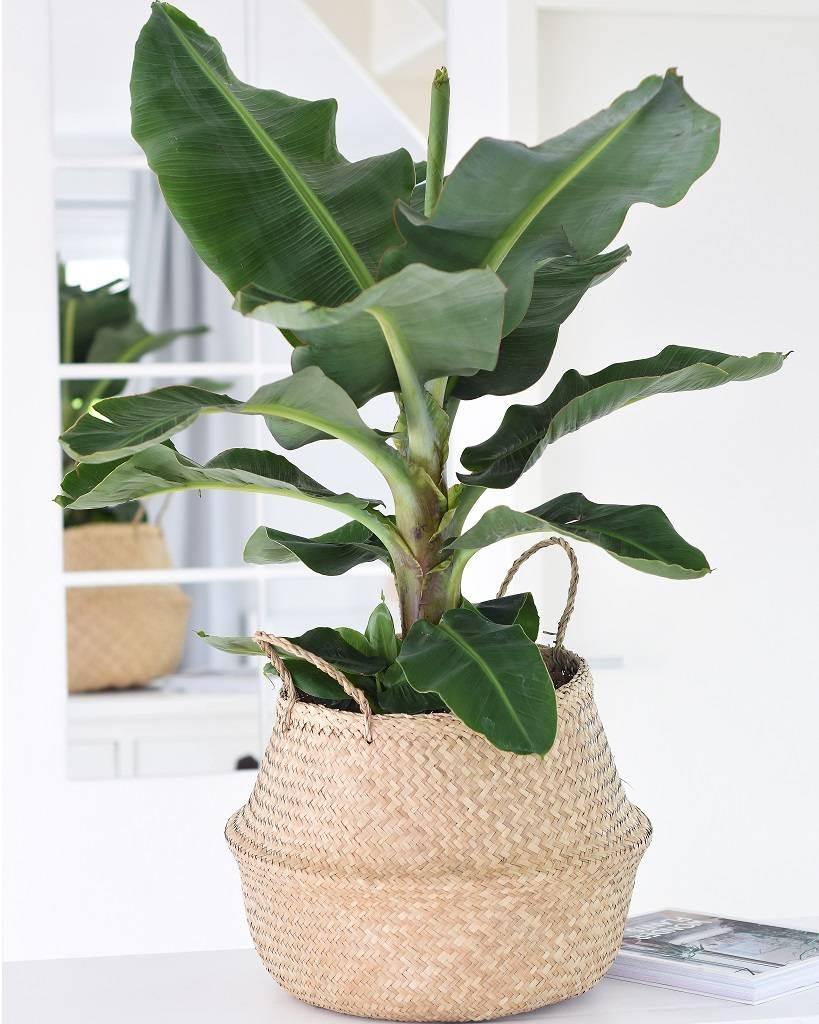 bananenplant-musa-tropische-kamerplant-Green-Bubble-puurvangeluk