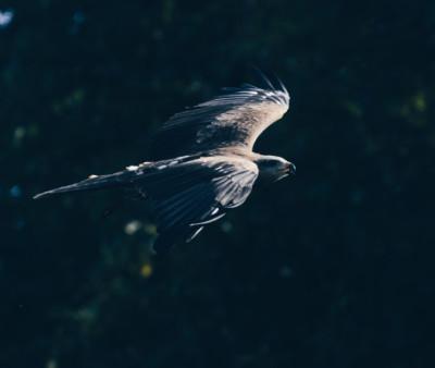 Thunderbird soaring on the wind