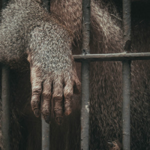 Tornit, Alaska's Bigfoot, caught and caged