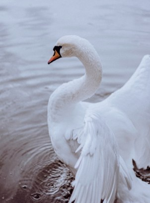 Swan with open wings on a lake