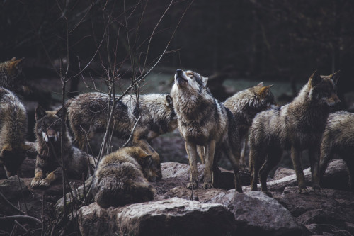 Wolf howling near the pack