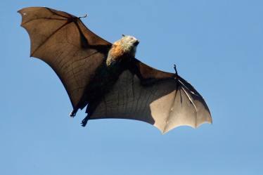 Brown Bat in Flight