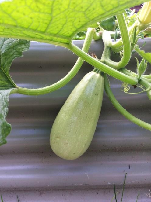 Fresh zucchini from the garden