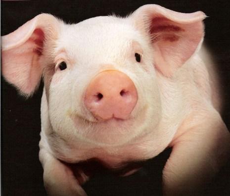 un cochon quoi...