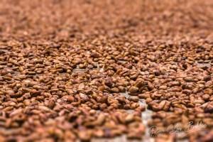 Séchage de fèves de cacao de Madagascar