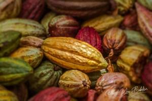 Récolte de cabosses de cacao de Madagascar