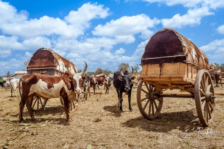 Marché aux zébus, Madagascar