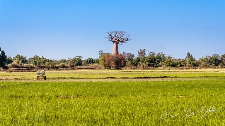Baobab et rizière