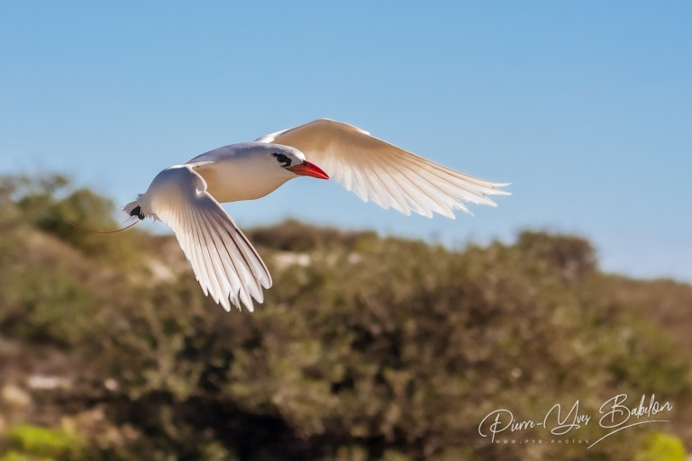 "Red-billed tropic bird ""Paille-en-Queue"""