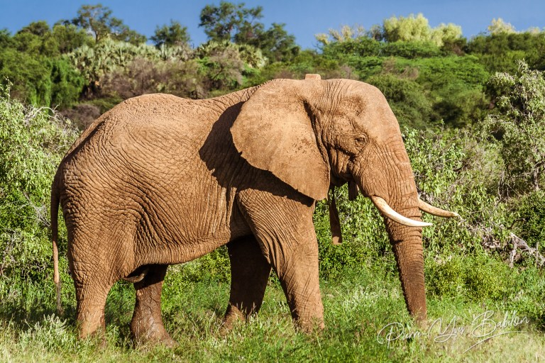 Single adult elephant in bush