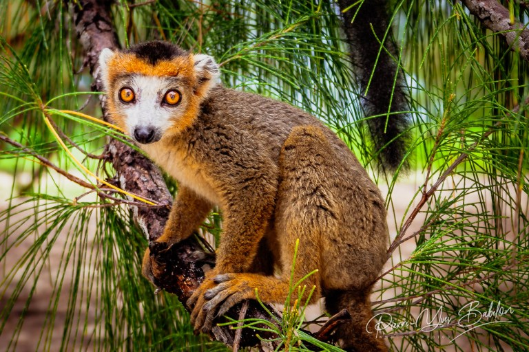 Young crowned lemur