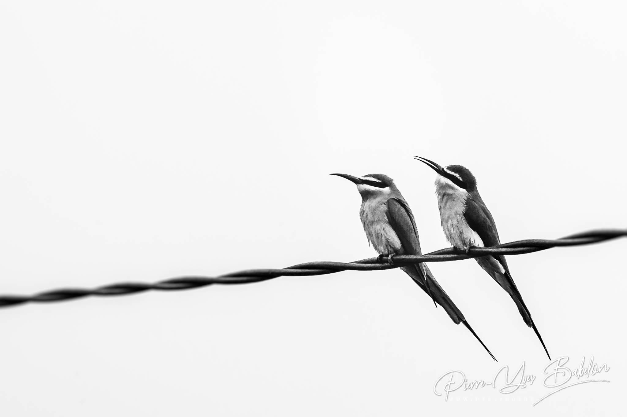 Guepiers de Madagascar (green bee-eaters)
