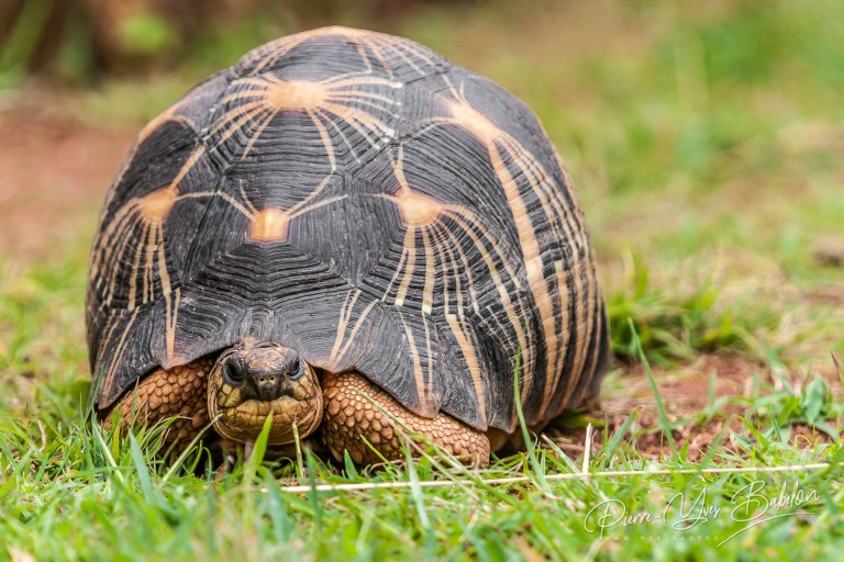Radiated tortoise from Madagascar
