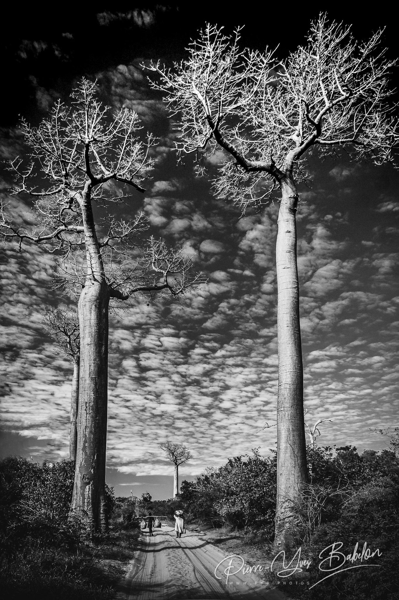Gigantesques baobabs