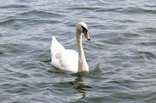 Swans in the Danube