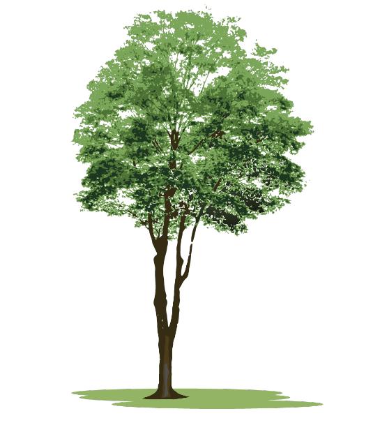 リアルな木のイラスト(木、樹木、針葉樹、広葉樹、街路樹、植木)