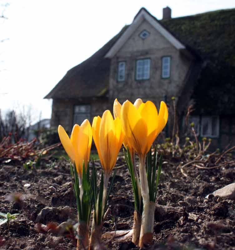 22. April: Krokusse zum Dritten - und versprochen, zum letzten Mal in diesem Frühjahr.