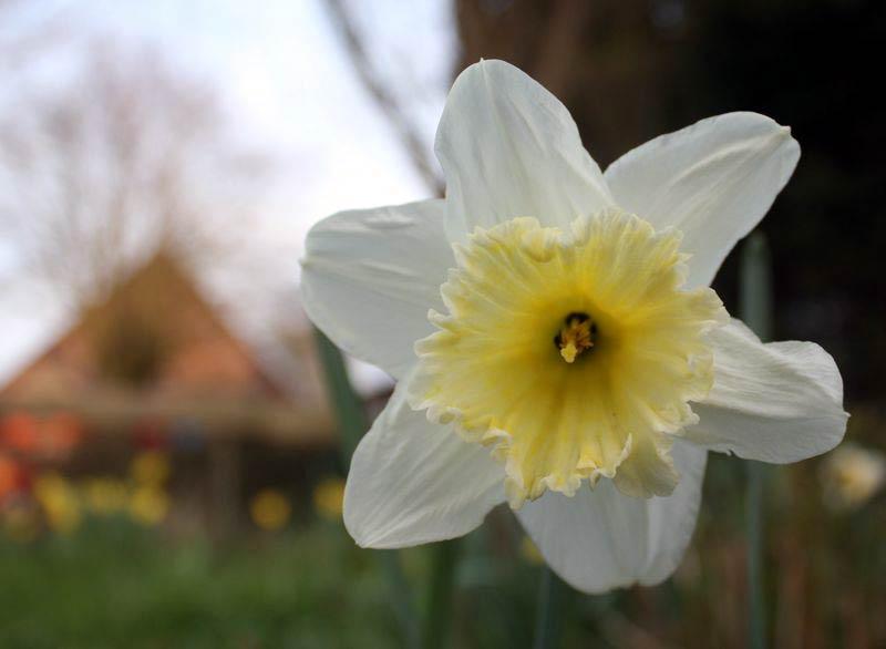6. Mai: Blütenweiß und schön: die Narzisse im Garten.