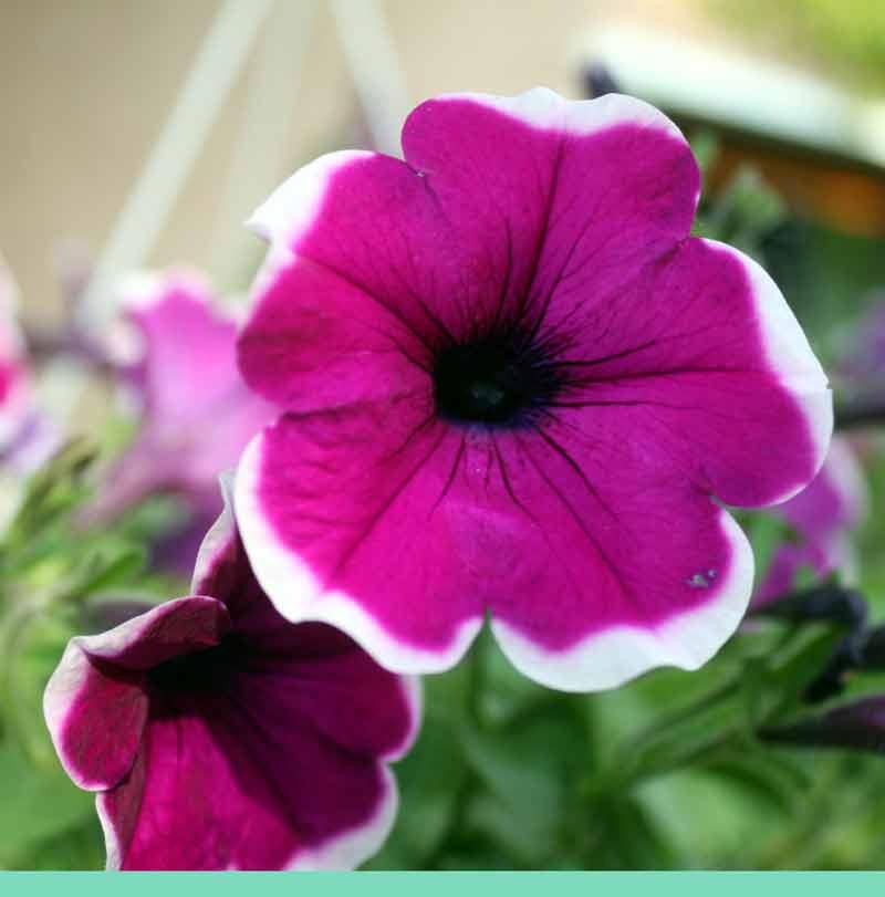 8. Juli: Die Petunie, der Star der Terrassen und Blumenkästen.