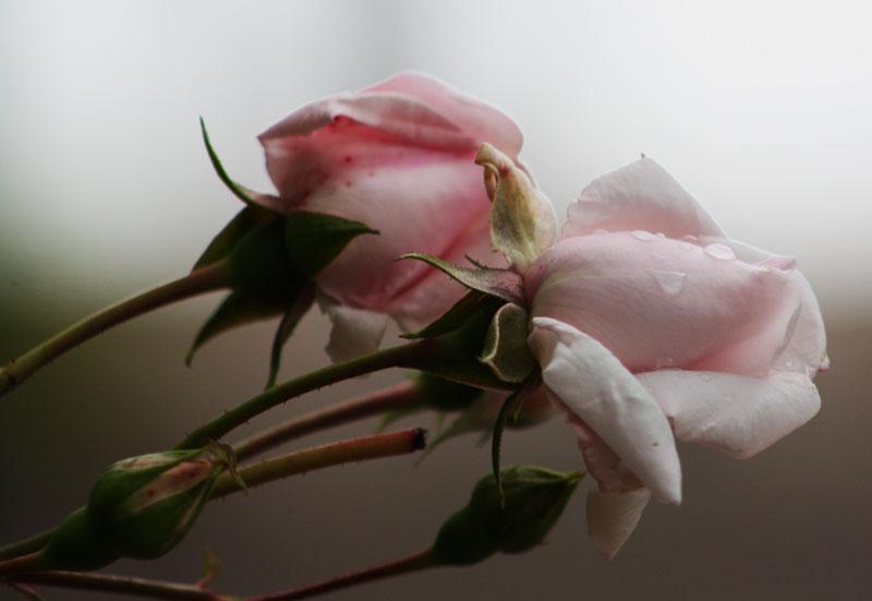 9. September: Regentränen auf Rosenblättern.