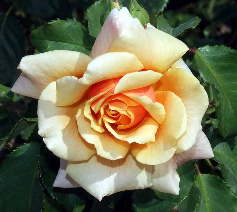 Juni: Zeit für Rosen
