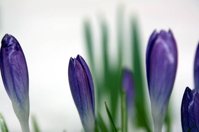 8. April: Endlich Vorfrühling: Die Krokusse stecken ihre Köpfe am Schnee vorbei ins Licht.