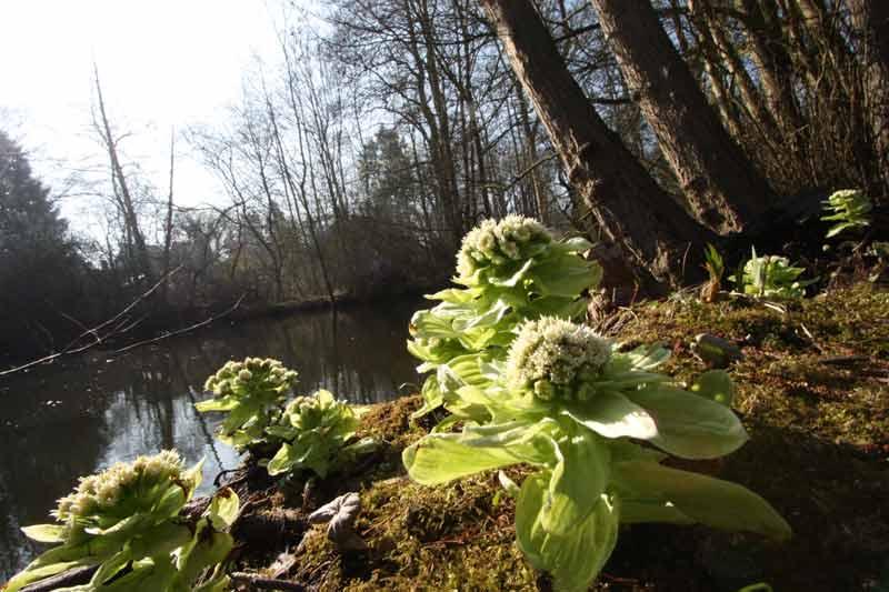 Blühende Pestwurz (Petasites) am Ufer der Schwentine