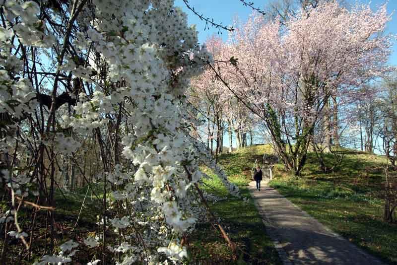 Blühende Zierkirchen auf der Luisenhöhe